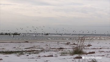 White pelicans migrating south for the winter
