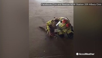 Kangaroo given oxygen after being found struggling in wildfire