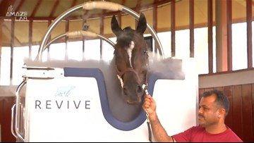 Racehorses Undergo Cryotherapy Treatment in Dubai in World's First