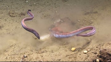 Crab Plays Tug-of-War With Eels Over Squid Dinner