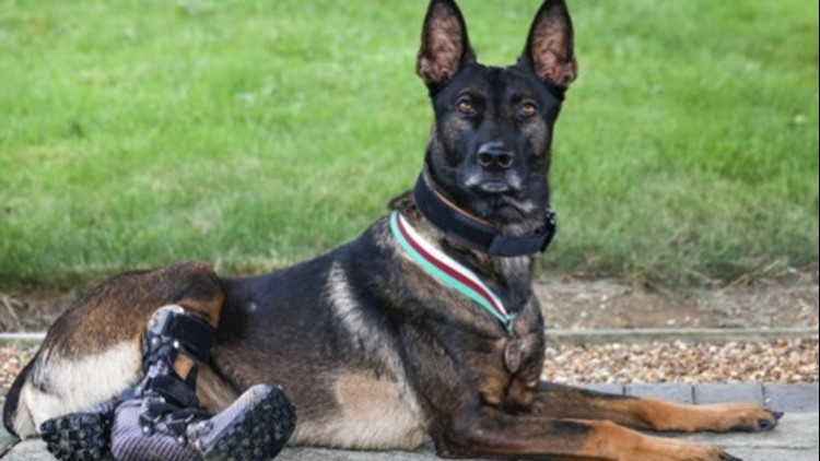 This Brave Dog Receives One of the Highest Awards for Animals in Military Combat
