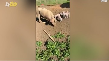 Piggy Sow-Prise! Funny Video Shows Farm Girl Trying To Pet Pig, Only To Be Chased!