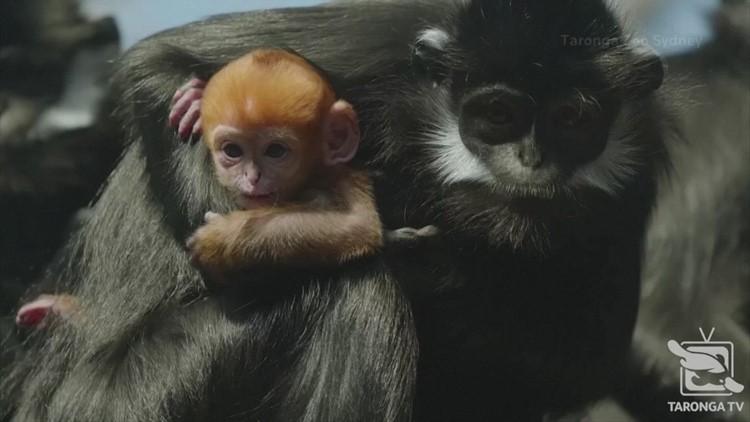 Aussie Zoo Celebrates Birth of a Francois' Langur Monkey!