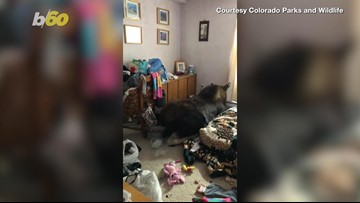 Moose Gone Loose! Moose Falls Through Roof of Colorado Family's Home