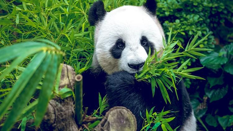 Giant pandas no longer endangered, China says