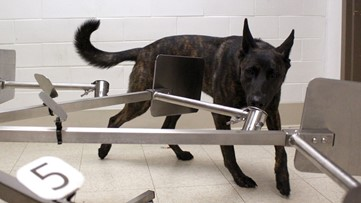 Dogs are being trained to smell COVID-19 on people