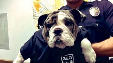 Rare bulldog stolen in Illinois tracked down in Los Angeles