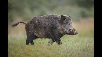 270-pound wild boar captured in San Antonio backyard