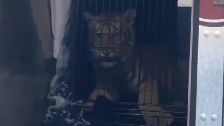 Tiger, bobcat seized from San Antonio home