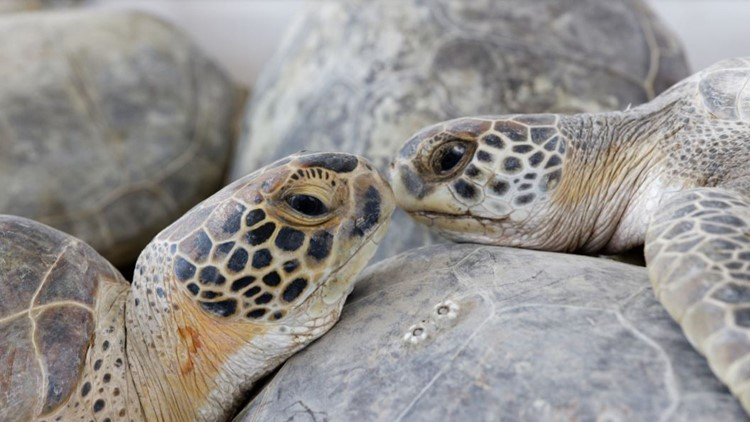 Cold-stunned sea turtles 'warmed up and lively' when released back into Gulf of Mexico