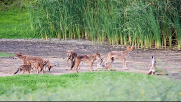 Wild canines found on Galveston beaches have DNA of extinct red wolves