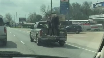 Video: Horse in back of pickup on Texas highway