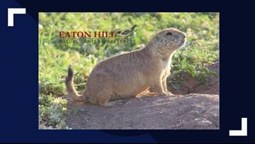 Eaton Hill Nature Center celebrates Groundhog Day 'West Texas style'