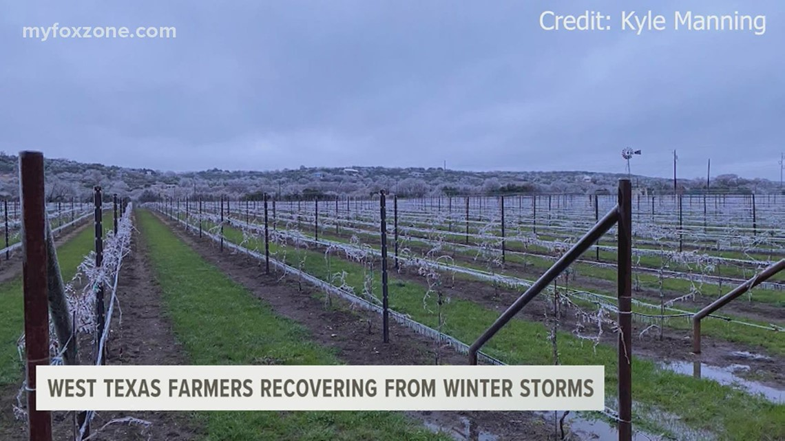 West Texas farmers' crops going bad after the winter storm