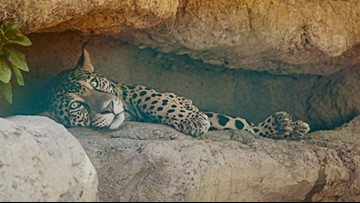 Estrella the jaguar from Abilene Zoo has died