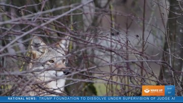 Coyote Concerns: how to ward off a wild animal
