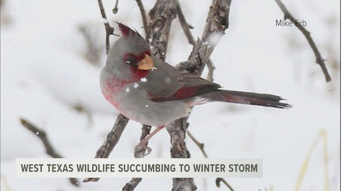 West Texas wildlife succumbing to winter storm