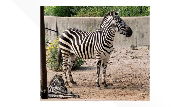 Abilene Zoo welcomes new baby zebra