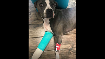Pitbull shot by police officer in West Texas needs amputation