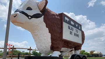 Holy cow! Have you 'herd'? Iconic cow returns home to Kingsville, Texas