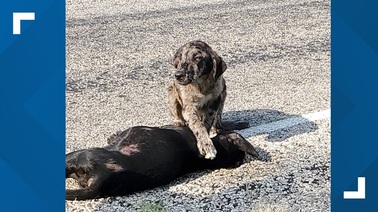 Dog stays by his dead sister's side after she was hit by a vehicle on rural Texas road