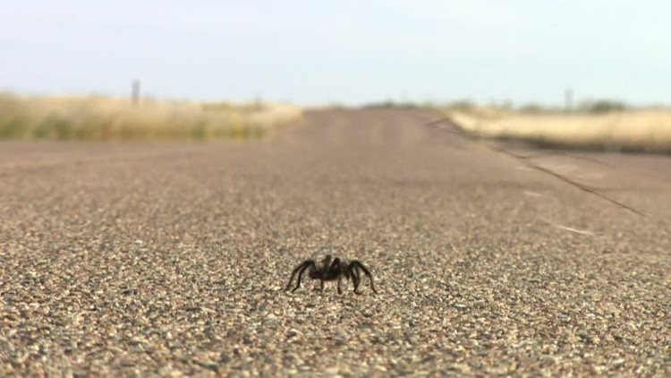Summer rains bring summer tarantulas in West Texas