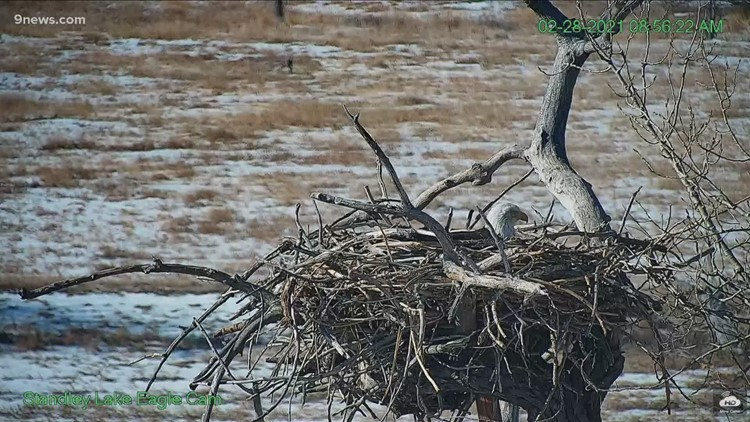Standley Lake eagle couple caps year of drama with an egg in the nest