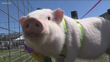 Central Texas Pig Rescue hosts a pig pageant to promote education about pigs