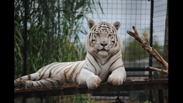 Beloved Bengal tiger dies unexpectedly Friday at Abilene Zoo
