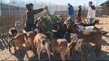 Done with that Christmas tree? Donate it to feed goats and help veterans