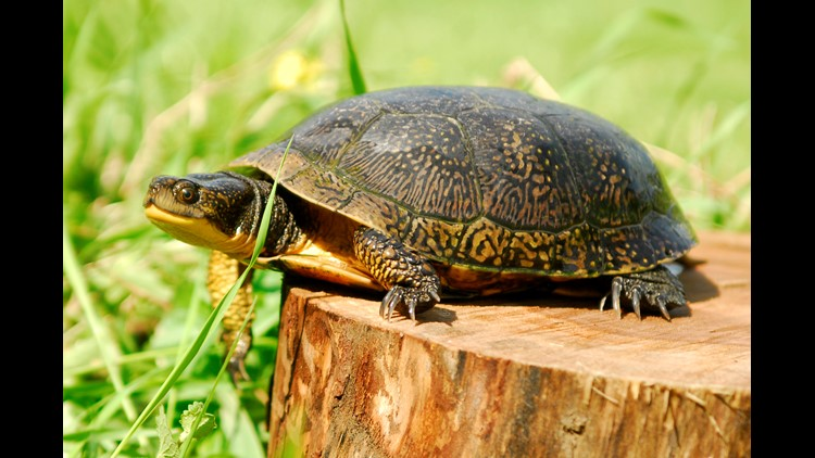 The Buffalo Zoo And The Seneca Nation Are Working Together To Protect Blanding's Turtles In WNY.