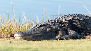 Abilene game warden finds 5 baby gators in Hamlin family's pool