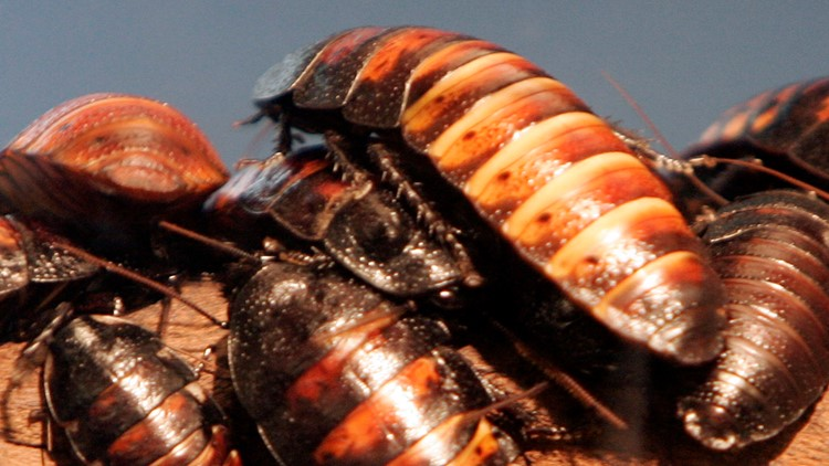 Doctors find family of cockroaches in man's ear