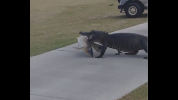 WATCH: Gator shows off its fishy catch at golf course